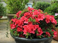 Azaleas are show-stoppers in spring, but this one—RHODODENDRON 'Bloom-A-Thon Red' repeats the flower show in fall. The small to medium-sized evergreen shrubs are happy in part sun to sun and have good disease resistance.