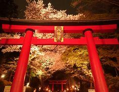 Cherry blossoms❀  at Omiya Hachimangu Shrine in Suginami-ku, Tokyo