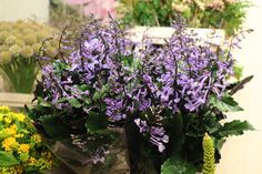 #Plectranthus: Available at www.barendsen.nl