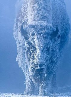 Photographic Print: Portrait of a Female Buffalo or Bison with Frozen Snow on its Coat by Tom Murphy : Photo Animaliere, Photo Chat, Wildlife Photography, Animal Photography, Travel Photography, Beautiful Creatures, Animals Beautiful, Beautiful Images, Tom Murphy