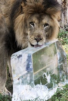 With heat indexes well above 100 degrees in Chicago, Zenda slurps on a lump of cold relief at the Brookfield Zoo.    Photo: Jim Schulz / Chicago Zoological Society