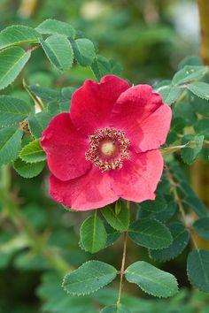 Rosa 'Geranium' (moyesii hybrid), end June. Exotic Flowers, Large Flowers, Red Flowers, Pretty Flowers, Red Roses, Single Flowers, Heritage Rose, Heirloom Roses, Christmas Rose