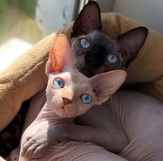 sphynx cat It may not be surprising that a cat who goes nude all the time loves the company of strangers. The Sphynx is certainly comfortable in their own skin. Pretty Cats, Beautiful Cats, Animals Beautiful, I Love Cats, Crazy Cats, Cool Cats, Spinx Cat, Cute Hairless Cat, Baby Animals