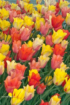 """A photograph of the the spring flowering Tulip Bulbs cultivar """"Sultans of Spring"""""""
