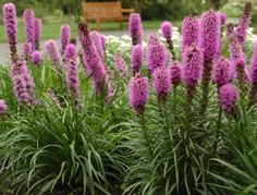 Liatris spicata 'KOBOLD' I just got fifteen of these. Plant Texture, Plant Zones, Balcony Flowers, Professional Landscaping, Landscape Services, Hardy Perennials, Growing Seeds, Garden Boxes, Garden Ideas