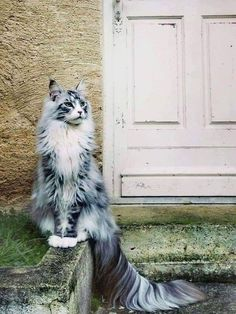 100 Photos Proving That Cats Are The Cutest Animal On Earth A Maine Coon is a large breed of cat, not just referring to its voluptuous fur but its body mass, too. The Maine Coon lifespan is hardly any. Cutest Animals On Earth, Animals And Pets, Funny Animals, Cute Animals, Animal Memes, Baby Farm Animals, Pretty Animals, Wild Animals, Pretty Cats