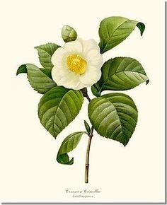 Vintage Botanical Flower Art Print: Camellia, Common White (Redoute) 5x7 Print Camellia japonica