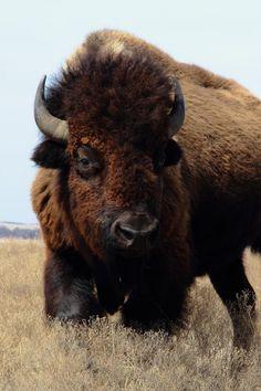 sublim-ature:  American Bison, OklahomaAshley Martin