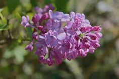 The oldest low-chill Syringa vulgaris is Lavender Lady, developed in California 30 years ago by hybridizer Walter Lammerts.