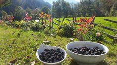 Ernte der Brombeeren aus unserem Garten vom Hotel Almrausch in Bad Kleinkirchheim   www.almrausch.co.at Plants, Blackberries, Harvest, Lawn And Garden, Flora, Plant