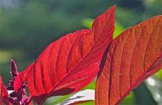 Amaranth; Emma's Garden; Barnhouse; Edgartown, Martha's Vineyard, Massachusetts, USA.  August 2014.