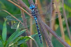 Blue eyed Darner M (2)-S.jpg (400×267)