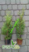 thuja-tuja-brabant-40cm-donica-0-6l.jpg