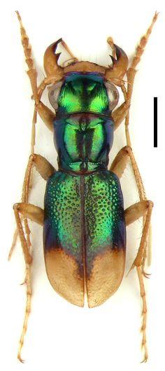 Megacephala (microtetracha) germaini (Claudoir, 1865) F Carabidae