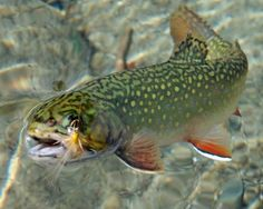kiheipoi:  gentlemanfisherman:  Brookie.  Fly Fishin' Friday – Images of trout and the pursuit to hook 'em. Credit of the pic should be given to the original poster or photographer.