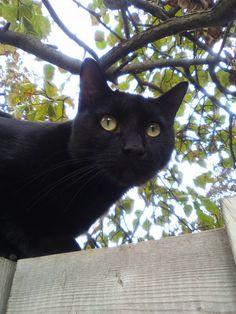 Lost Cat - American Shorthair - Hamilton, ON, Canada L8V 2S5