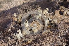 Photo about A Large Group of Langur monkeys sun them selves and rest at the top of a mountain in Pushkar Rajasthan India. Image of langur, monkeys, grooming - 69527225 Rajasthan India, Monkeys, Rest, Mountain, Sun, Stock Photos, Group, Image, Goa India