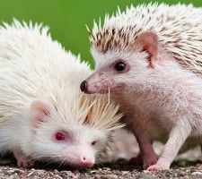 Does your Black Hills home include a cage for a hedgehog? If so, you have one of the cutest possible pets! Hedgehogs are very adorable, and can make wonderful animal friends. You'll want to play with your hedgie regularly, but your hedgehog should...