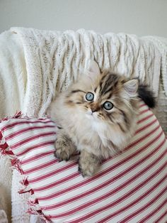 52 Best Doll Face Persian Kittens images in 2019 | Persian