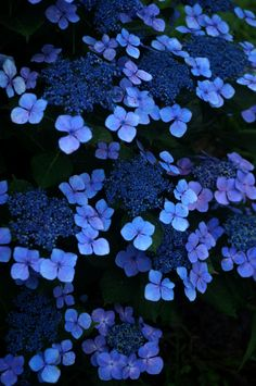 hydrangea...good blue wedding flower? beautiful   hydrangeas   blue   night,,,,,,**+