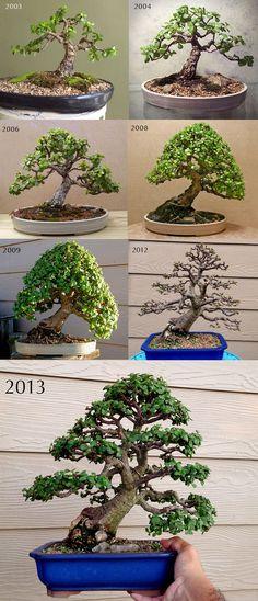 Buy Bonsai Trees Buy Unique Old Bonsai Trees - Miami Bonsai Trees - Portulacaria Afra aka Jade Bonsai, 10 years training progression. #RealPalmTrees #BuyRealBonsaiTrees #RealBonsaiTrees RealBonsaiTrees.com