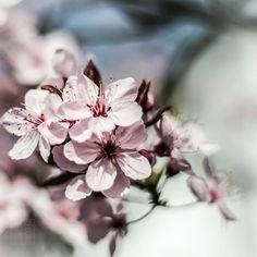 #flowers #flower  #beautiful #pretty #blossom #spring #flowerstagram #flowersofinstagram  #flowerslovers #florals #instablooms #floweroftheday #sakura #桜 #さくら  #ig_flowers #superb_flowers #insta_pick_blossoms #bns_flowers #ip_blossoms #myheartinshots #lovely_flowergarden #bns_flowers #ip_blossoms
