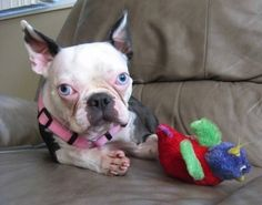 ... year old boston terrier that was adopted from the boston terrier Here is why I love Boston Terrier