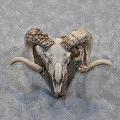 Corsican Ram Skull & Horns For Sale @ The Taxidermy Store Animal Skeletons, Animal Skulls, Ram Skull, Skull Art, Skull Reference, Ram Horns, Animal Bones, Skull And Bones, Slytherin