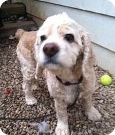 House Springs, MO - Cocker Spaniel. Meet Blondie, a dog for adoption. http://www.adoptapet.com/pet/12164653-house-springs-missouri-cocker-spaniel