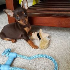 Playing with all and i mean all of my toys. I love my squirrels and kong chew rope. #kong #puppy #puppiesofinstagram #dogsofinstagram #playtime #cutepuppy #smalldogs #smallbreeddogs #pragueratter #prazskykrysarik #chocolateboy  Photo By: chocolatemousse_pup  http://bit.ly/teacupdogshq