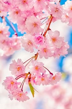 "basdos: "" Cherry Tree by AlpamayoPhoto """