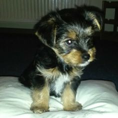 Yorkshire Terrier Lucky Na, dann will ich mal groß werden… #Hund: Lucky / #Rasse: Yorkshire Terrier        Mehr Fotos: https://magazin.dogs-2-love.com/foto/yorkshire-terrier-lucky/ Foto, Hund, Welpen