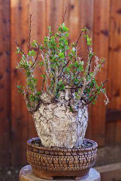 Fouquieria fasciculata | da ktvamp