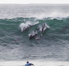 #surfing with dolphins South Africa