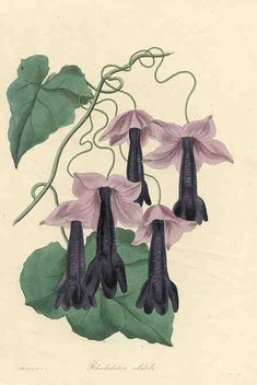 Purple twining Rhodochiton