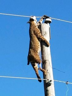 A Wheatland lineman discovered a bobcat dangling from the line. Photo by Chris Oliver Curiosity Killed The Cat, Strange Photos, Rough Day, Lineman, Big Cats, Animal Pictures, Wildlife, Pets, Fresh Meat