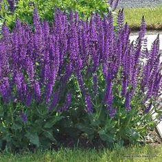 Salvia nemorosa 'Mainacht' - Zsálya