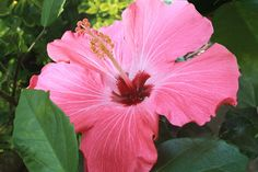 Hot Pink Hibiscus by SecondLookPhoto on Etsy, $5.00
