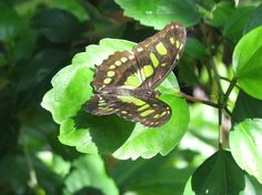 A picture from the Butterfly Pavilion - http://www.butterflies.org/