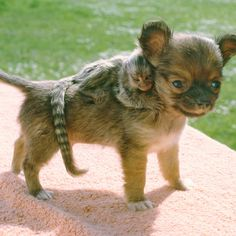 The Chihuahua and his baby marmoset~ When the baby marmoset's fellow marmosets turned on him at a small zoo near Thetford, Norfolk, England, the zookeepers called in Sam, the Chihuahua. (dog, monkey)