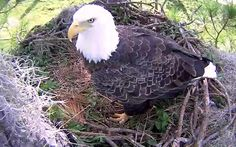 Eagle Cam two babies now. it's addictive.