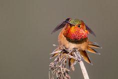 Allen's Hummingbird | Carl Woo | Flickr