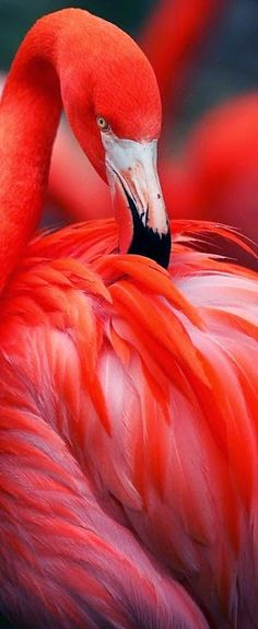 Flamingo.   There are four flamingo species in the Americas and two species in the Old World.