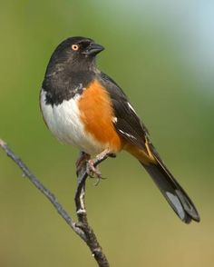 Eastern Towhee---this guy has been my favorite new backyard friend since we moved to Georgia.   I see a pair every day and they are very entertaining.