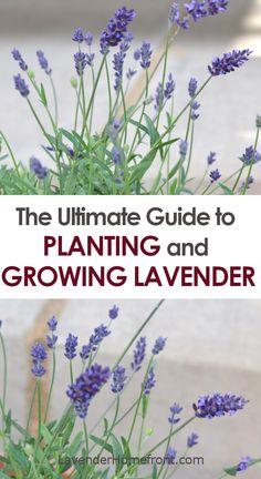 Backyard Plants, Garden Plants, Gardening For Beginners, Gardening Tips, Container Gardening, Growing Lavender Indoors, Witch Herbs, Starting A Garden, Fruit Plants