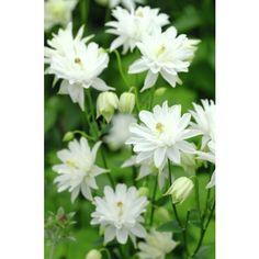 aquilegia munstead white