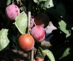 Fruit Trees That Grow Well in Minnesota