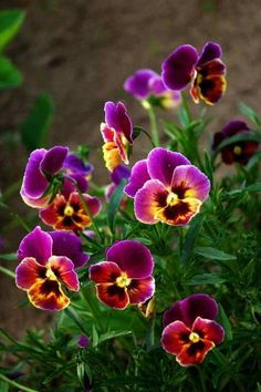 Pansies <3 Pretty Or Not? Posted on Facebook by Earth Laughs  in Flowers