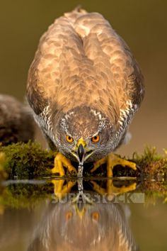 Location unknown.,A Northern Goshawk leans down to drink at a pond.