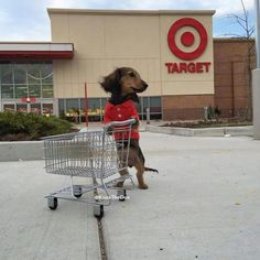 Dachshund in a red polo... shopping at Target! With a mini cart. How perfect. <3
